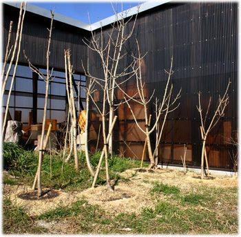 移植したウルシの木
