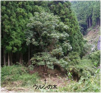 京都の漆掻き4