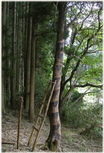 京都の漆掻き6