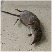 かわいそうなネズミさん